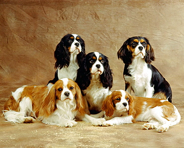 Group of five Cavalier King Charles Spaniel dogs
