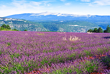 Lavender field with the Mont Ventoux in the background, Provence, France, Europe