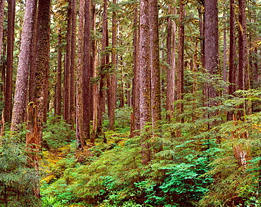 Ancient forest of western hemlock and Sitka spruce, Soleduck Valley, Olympic National Park, Washington, USA