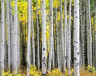 Mature aspen grove displays fall colors, West Elk Mountains, Gunnison National Forest, Colorado, USA