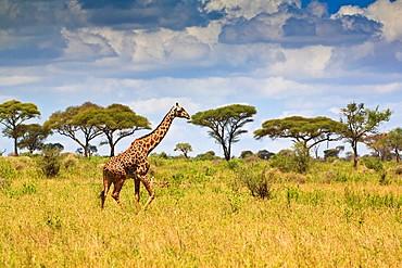 A single giraffe (Giraffa camelopardalis) walking through the scenic landscape of the Tarangire National Park, Tanzania, Africa