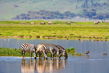 Burchell´s zebras (Equus burchelli) drinking at a waterhole in the Ngorongoro Crater in Tanzania, Africa
