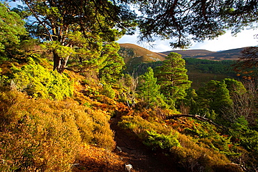 Scotland, Scottish Highlands, Cairngorms National Park Hiking trial running alongside a plantation of Scots Pines in the Glenmore Forest Park