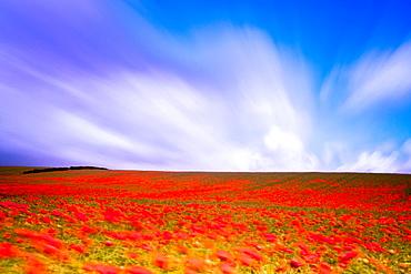 England, Northumberland, Corbridge Poppy Field in Northumberland, UK
