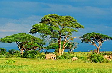 African Elephant, loxodonta africana, Group in Savanah, Masai Mara park in Kenya