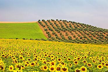 Spain, spring 2011, Andalucia Region, sunflowers fields