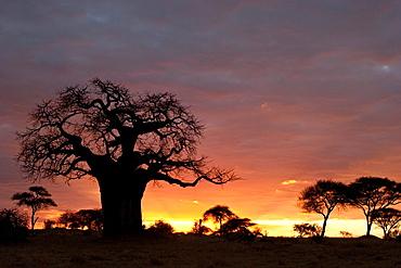 Sunset African Baobab Tree Tarangire National Park, Tanzania