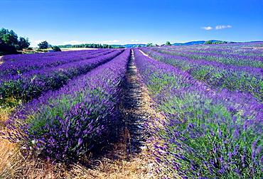 Flowering lavender field, Provence, France