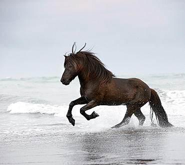 Icelandic horse in the ocean running, Iceland