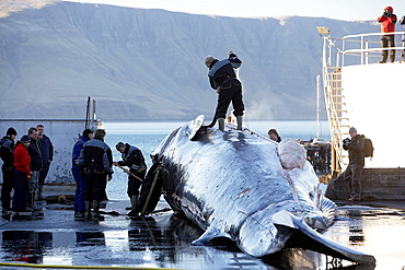 Finback Whale newly caught  Finback Whale being skinned by fisherman at the Hvalfjordur Whaling Station in Iceland