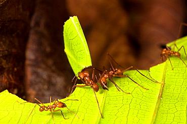 Leaf-cutter ants Atta cephalotes cutting leaf fragments in the Osa Peninsula, Costa Rica