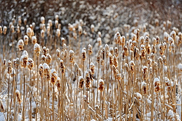 Cattails laden with snow after a spring blizzard Lively, Ontario, Canada