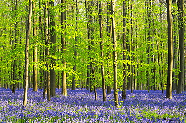 A blooming carpet of Bluebells in beech forest, bluebells Hyacinthoides non-scripta and European beech trees Fagus sylvatica, Hallerbos, Belgium, Europe