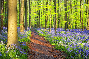 Path through a carpet of Bluebells in European beech forest, bluebells Hyacinthoides non-scripta and European beech trees Fagus sylvatica, Hallerbos, Belgium, Europe