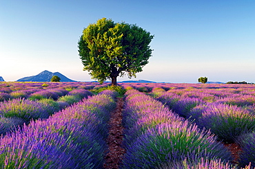 Lavender Lavendula angustifolia field with tree Valensole, Plateau de Valensole, Alpes-de-Haute-Provence, Provence-Alpes-Cote d'Azur, Provence, Puimoisson, Provence, France