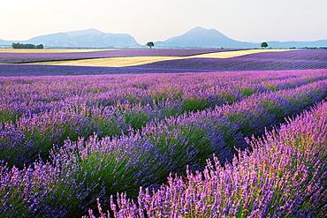 Lavender field Lavendula augustifolia, Valensole, Plateau de Valensole, Alpes-de-Haute-Provence, Provence-Alpes-Cote d'Azur, Provence, France