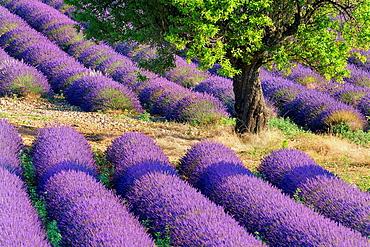 Lavender Lavendula angustifolia field with trees Valensole, Plateau de Valensole, Alpes-de-Haute-Provence, Provence-Alpes-Cote d'Azur, Provence, Valensole, Provence, France