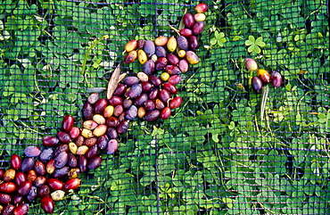 Harvested Olives on a Collecting Net, Crete, Greece