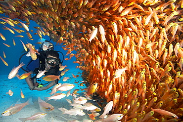 Male diver in shoal of glassfish