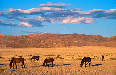 Namib Desert Horse; feral descendants of horses which probably were left behind by German troops in the early 1900; grazing in the evening, Garub plains west of the village of Aus, Namib-Naukluft Park, Namibia.