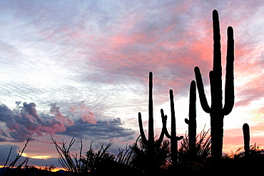 Giant Saguaro (Carnegiea gigantea) - Symbol of the American Southwest and indicator of the Sonoran Desert, At dusk.Saguaro National Park (western section), Tucson, Arizona, USA.