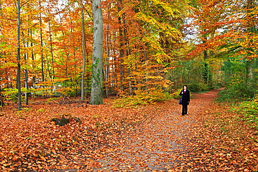 A woman walking alone in the forest with fallen leaves in autumn, Syke, Lower Saxony, Germany, Europe