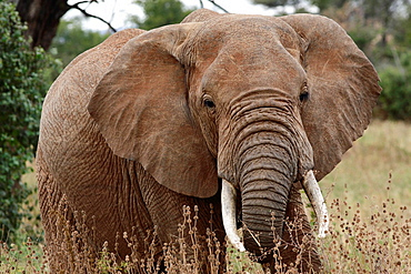 African Elephant Loxodonta africana, Tarangire National Park, Tanzania