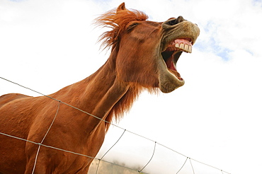 An Icelandic horse makes funny facial expressions