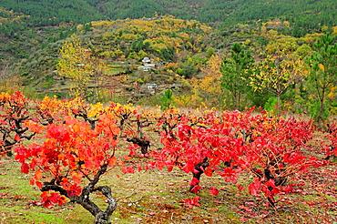 Vineyard in autumn Quiroga, Lugo, Galicia, Spain