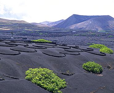 Vineyards on volcanic ashes, La Geria, Lanzarote, Canary Islands, Spain - 817-370