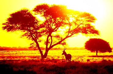 Antelope in sunset under thorn tree Central Kalahari Game Reserve Botswana