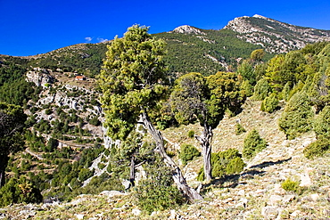 Landscape with juniper and Penyagolosa Peak in the background - Natural Park Penyagolosa – Alcalaten - Castellon province – Comunidad Valenciana – Spain - Europe
