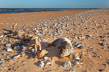 Grey Seal Pup on beach at Blakeney Point Norfolk