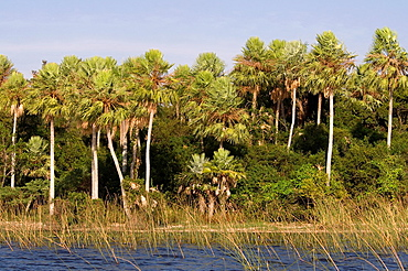 Caranday wax palm trees Copernicia alba in Ibera Wetlands, Argentina  In guarani language is called Caranday, meaning ´water palm tree´