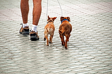 man walking out two small dogs on a leash
