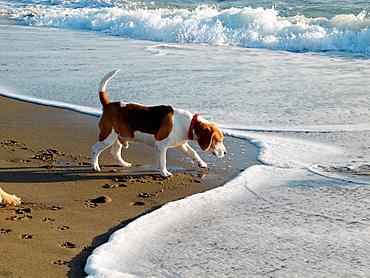 one beagle dog on empty beach in sun