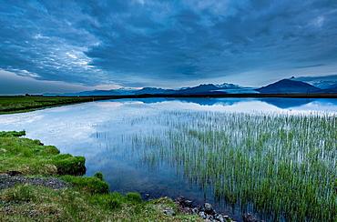 Pond with Common Spike-rush Eleocharis palustris Glacial tongues in background, Skalafellsjokull, Flaajokull, Heinabergsjokull, Vatnajokull Ice Cap, Iceland