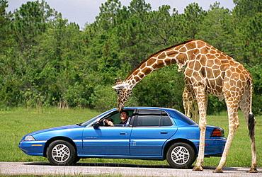 Lion Country Safari, West Palm Beach, Florida, USA