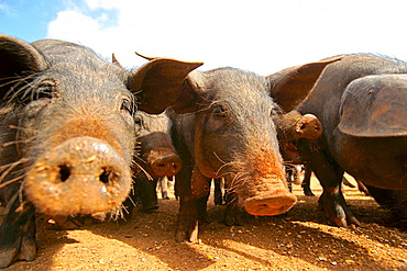 Majorcan Pork, - Porc Negre-, Llucmajor, Mallorca, Balearic Islands, Spain, Europe