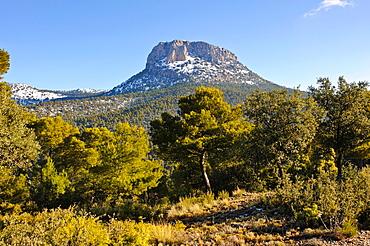 Encinas Quercus ilex Parque Regional de Sierra Espuna  Alhama de Murcia  Murcia.