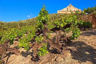 Montilla, vineyards, Montilla-Moriles area, Cordoba, Andalusia, Spain