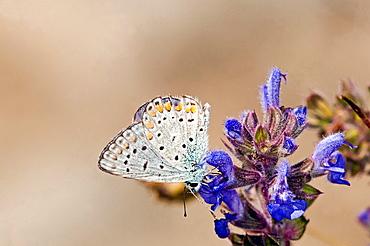 Common Blue, Polyommatus icarus, Greece - 817-406500