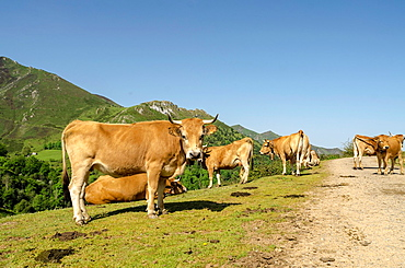 Cows on the road gravel at Onis valley, Asturias, Spain