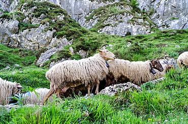 Sheepherd in the Asturias Mountain, Onis Valley, Spain