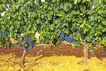 Ripes wine grapes in vineyard Benavente, Zamora, Castile and Leon, Spain