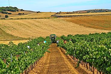 Vineyard at Benavente, Zamora, Castile and Leon, Spain