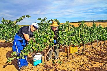 Harvesting grapes in Benavente vineyard, Zamora, Castille and Leon, Spain