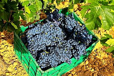 Wine grapes in a box at vineyard Benavente, Zamora, Castile and Leon, Spain