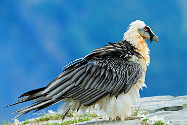 Adult lammergeier Gypaetus barbatus or bearded vulture of more than seven years old, in Ordesa y Monte Perdido National Park  Pyrenees  Torla  Huesca province  Aragon  Spain