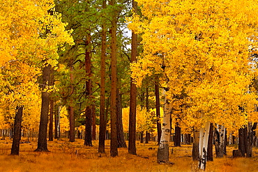 Aspen Fall Foliage and Pine Trees  Apache National Forest, Arizona USA